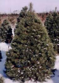 Scotch Pine 6'-8'